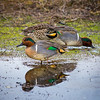 Green-Winged Teal at Garry Point Park.