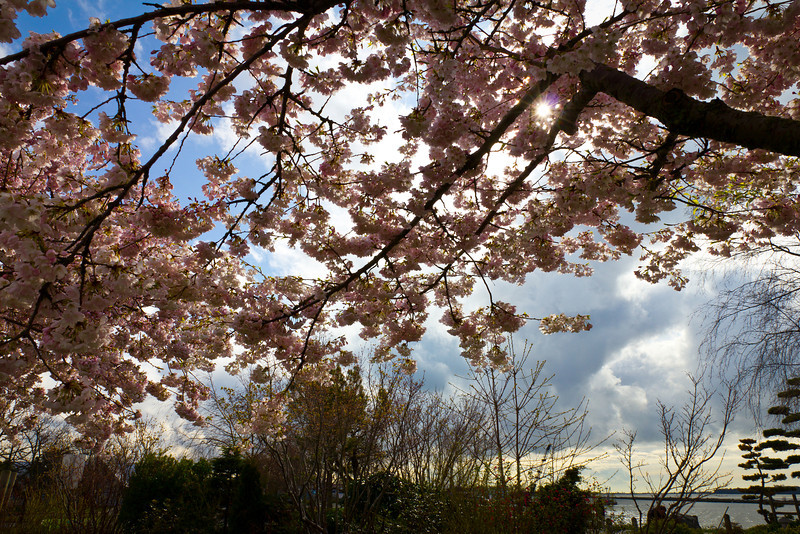 Cherry blossoms bloom in Garry Point Park.