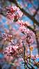 Cherry blossoms mark the start of the allergy season.