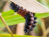 A Banded Woolly Bear caterpillar in the bushes on the West Dyke Trail at Garry Point.