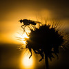 Fly silhouetted against the setting sun in Garry Point Park.