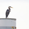 Great Blue Heron at Garry Point Park.