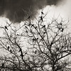The birds roosting in a bare tree at Garry Point Park.
