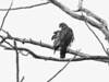 A Hawk keeps an eye out for prey on the West Dyke Trail near Garry Point Park.