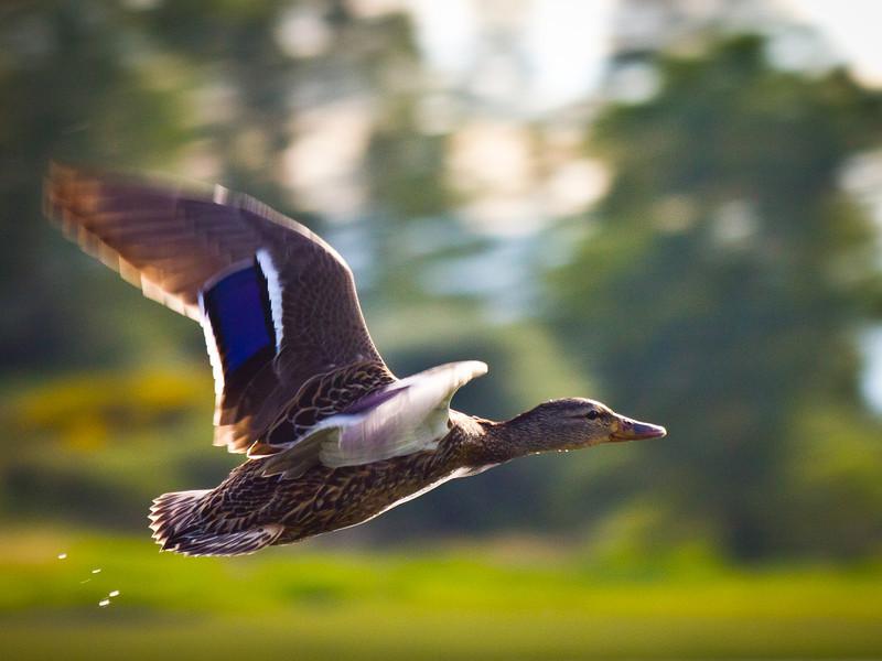 Female mallard duck in flight.