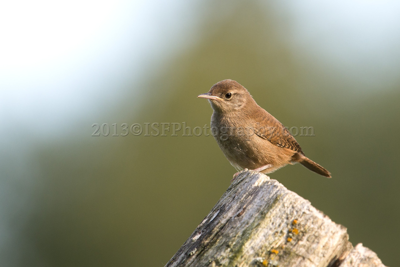 Common House Wren