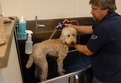 """Chicago Canine Club Manager Mike Tobolaski gives """"Giovanni"""" a bath at the Burr Ridge location Wednesday October 31, 2012.  The Canine Club offers doggie daycare, boarding, grooming and training.   Staff photo by Erica Benson"""