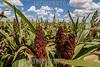 Argentina - Entre Ríos : Agricutura / Argentinien : Landwirtschaft in Entre Rios - Sorghumhirsen - Als Sorghumhirsen werden die Arten der Gattung Sorghum aus der Familie der Süßgräser ( Poaceae ) bezeichnet - Getreide © Nilce Silvina Enrietti/LATINPHOTO.org