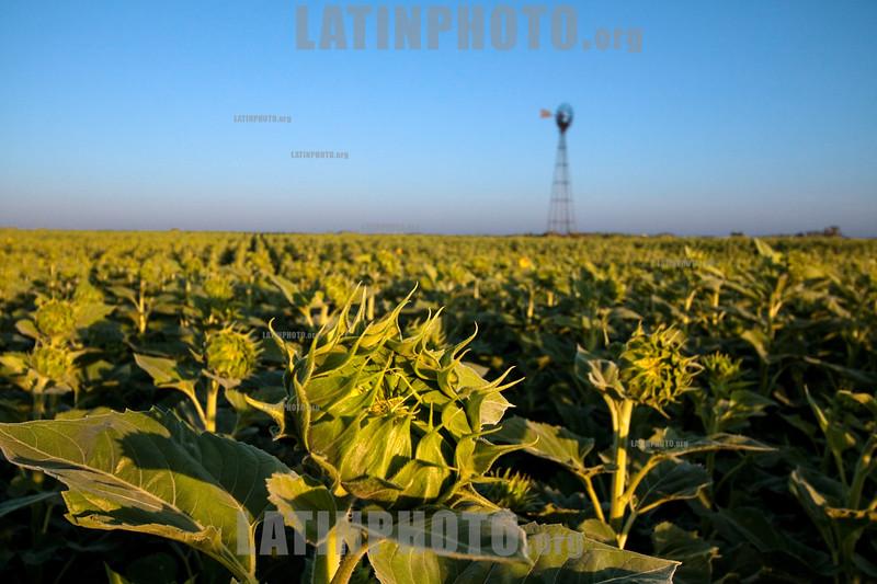 Argentina - Santiago del Estero : Agricultura - plantación de girasoles / Argentinien : Sonnenblumenplantage in Santiago del Estero © Silvina Enrietti/LATINPHOTO.org