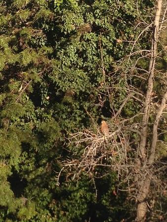 2013-01-21 Hawk in Tree