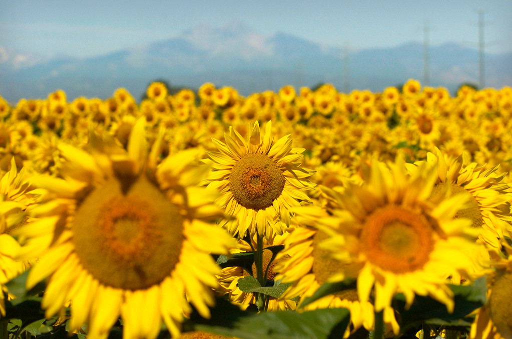 . Contrasting with Long\'s Peak in the background, a large field of sunflowers soak up the morning sun along I-25 near Longmont, Colorado on Monday, August 8, 2005. (Photo by Glenn Asakawa/The Denver Post)