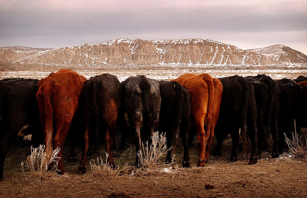 . The rumps of the Salers herd feeding are mirrored with the bumps of the landscape along the Yampa River in Northwest Colorado on December 7, 2004. (Photo by Cyrus McCrimmon/The Denver Post)
