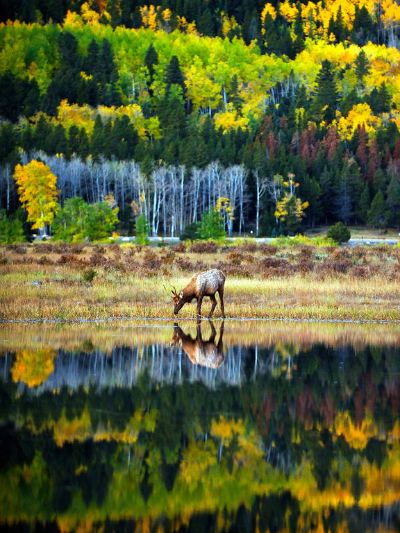 . A young elk drinks from a pond in Rocky Mountain National Park early Wednesday morning on October 8, 2008. (Photo by RJ Sangosti/ The Denver Post)