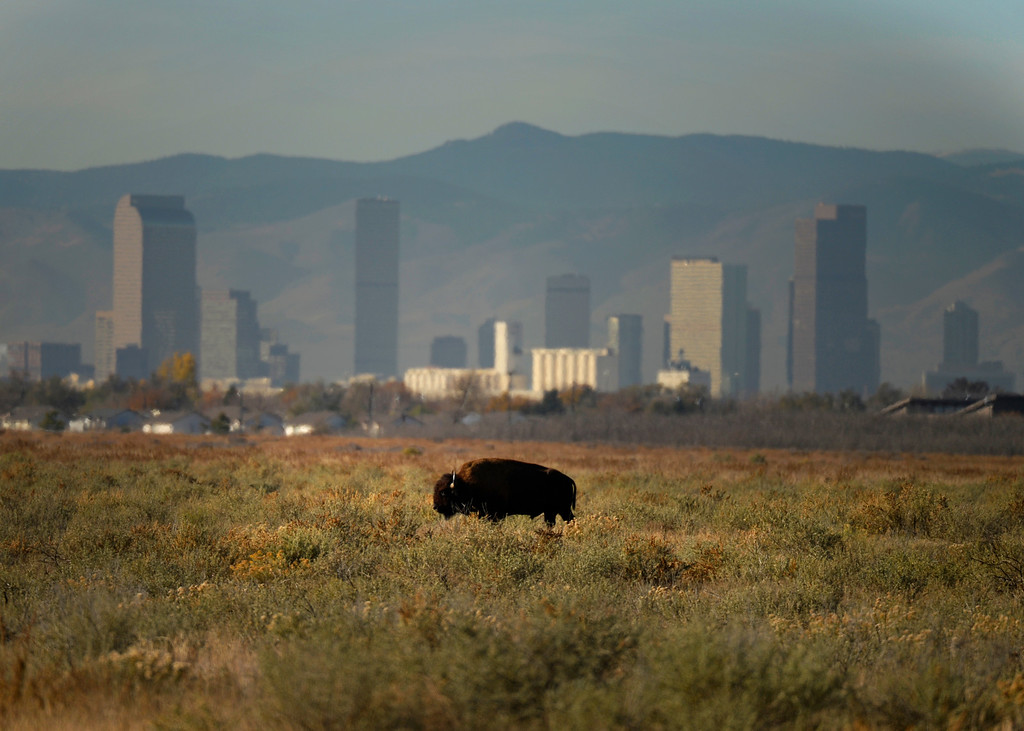 . With downtown Denver in the background a bison grazes at Rocky Mountain Arsenal National Refuge, November 07, 2013. The bison breeding program at Rocky Mountain Arsenal National Refuge is getting too big and they plan to rounding up 25 percent of them in December.  (Photo By RJ Sangosti/The Denver Post)