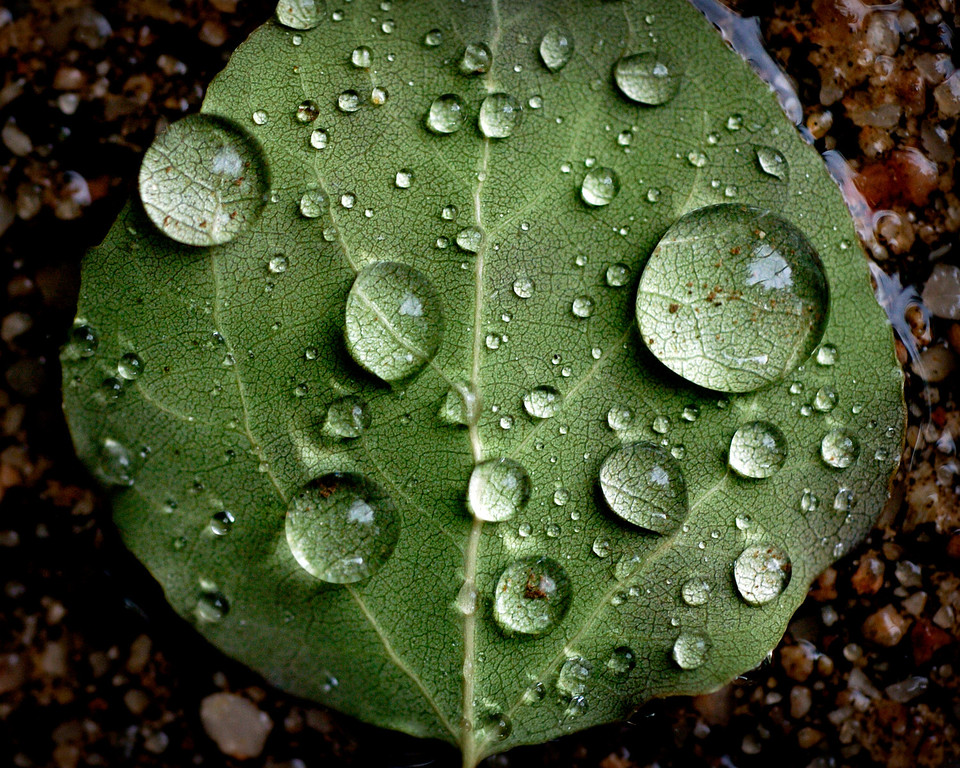 . As rain hit the metro area on Thursday June 5, 2008, water drops pooled on the bottom side of an aspen leaf on the sidewalk in Denver. (Photo by Cyrus McCrimmon/The Denver Post Archive)