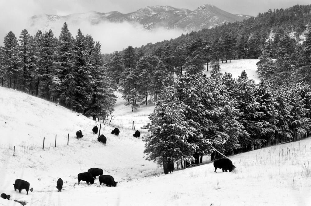 . The Bison herd roaming Genesee Park in Golden off of I-70.  (Photo by Tim Rasmussen/The Denver Post)