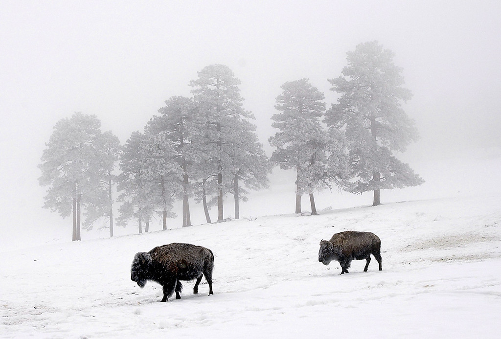 . Buffalo foraging for food on a snow-covered hill near the Genesee exit along I-70 create a stark contrast in the wintry scene on March 4, 2003. (Photo by Glenn Asakawa/The Denver Post)