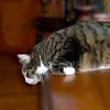 Lounging Fat Cat Barney