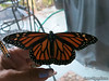 Aug 19, 2013 <br /> 14)  Female Monarch (no dots on lower wings)