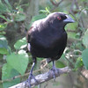 Bronzed Cowbird - Homestead , Florida