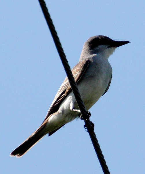 "Gray Kingbird -Bill Baggs S.P.<br /> <br /> Start of ""THe Ultimate Florida Tour"" headed by Larry Manfredi"