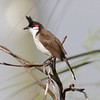 Red-wiskered Bulbul - Kenalwood area of Miami