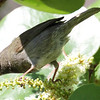 Black-faced Grassquit - Bill Baggs S. P