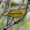 Yellow Warbler - Matheson Hammock.  AKA Cuban Golden Warbler.