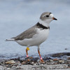 Piping Plover - A Miami Beach