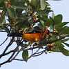 Spotted Oriole - University of Miami Campus