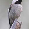 Carolina Chickadee - Matheson Hammock S.P. .  Bird is 150 miles south of its normal range per Larry Manfredi.