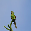 White-eyed Parakeet - Kendalwood area of Miami
