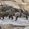 Group of Razorbills on Seal Island.