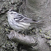 Black and White Warbler Montrose Hedge