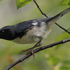 Black-throated Blue Warbler Montrose Hedge