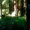 Riders are dwarfed by giant redwood trees!