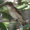 Empid Flycatcher