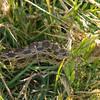 Gopher snake (nonvenomous) - Cesar Chavez Park