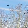 Crows - San Rafael 2