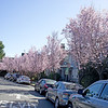 Myrobolan Plum  tree (Prunus cerasifera) blossoming on Hillegass Avenue.