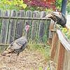 Turkeys invade my neighbor's yard