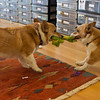 Corgi tug of war.