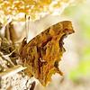 American snout butterfly. Lower Fire Trail, Berkeley.
