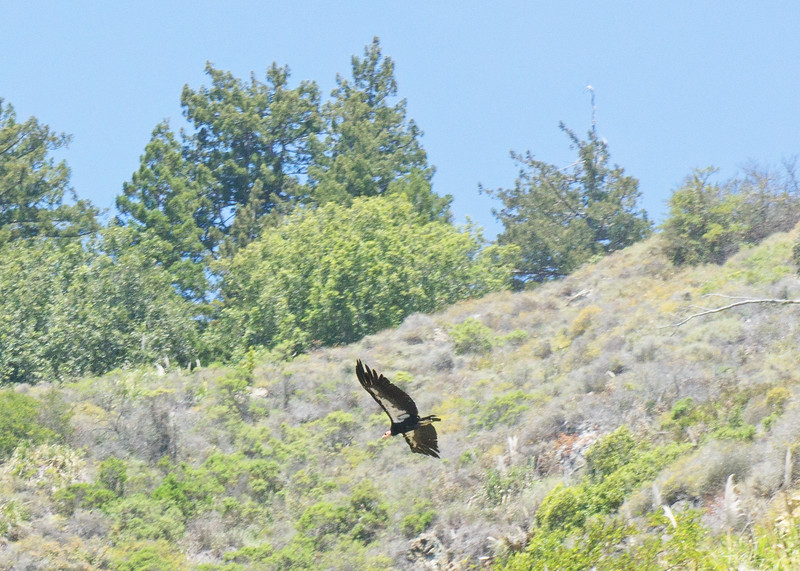 California condor, one of only 220 in existence. Near Esalen on Highway 1.