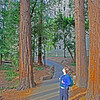 Sara looks at redwoods, Berkeley campus
