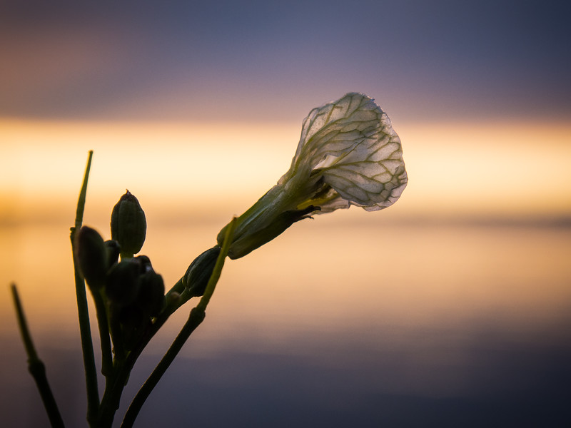 A tiny flower is backlit by the rising sun at Garry Point Park.
