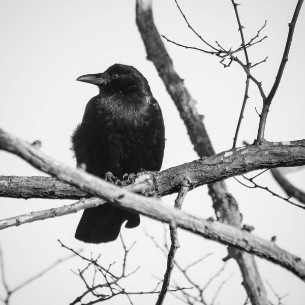 Crow at Garry Point Park.