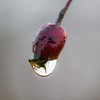 Water drop on a crabapple in Garry Point Park.