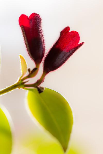 Backlit flower of the lipstick plant.