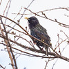 Starling sitting in a cherry tree at Garry Point Park.